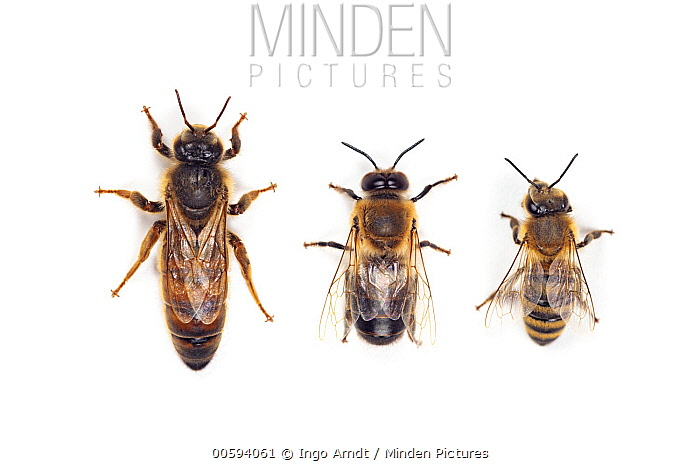 Honey Bee (Apis mellifera) queen, drone, and worker, Germany