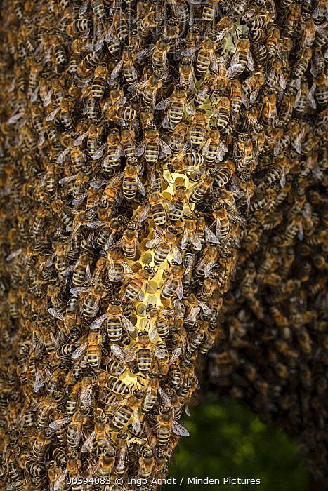 Honey Bee (Apis mellifera) colony on honeycomb, Germany