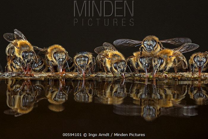 Honey Bee (Apis mellifera) group drinking, Germany