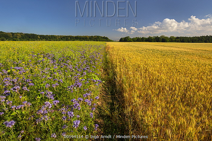 Flowering plants that can be used by bees and grain field, Germany