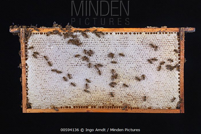 Honey Bee (Apis mellifera) honeycomb with cells with honey, Germany