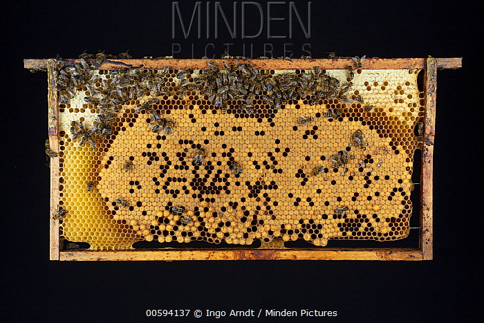 Honey Bee (Apis mellifera) honeycomb with brood cells and cells with honey, Germany