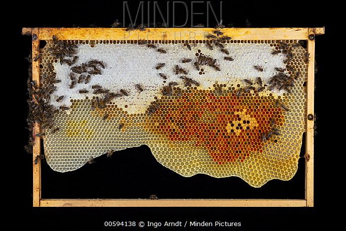 Honey Bee (Apis mellifera) honeycomb with honey and pollen, Germany