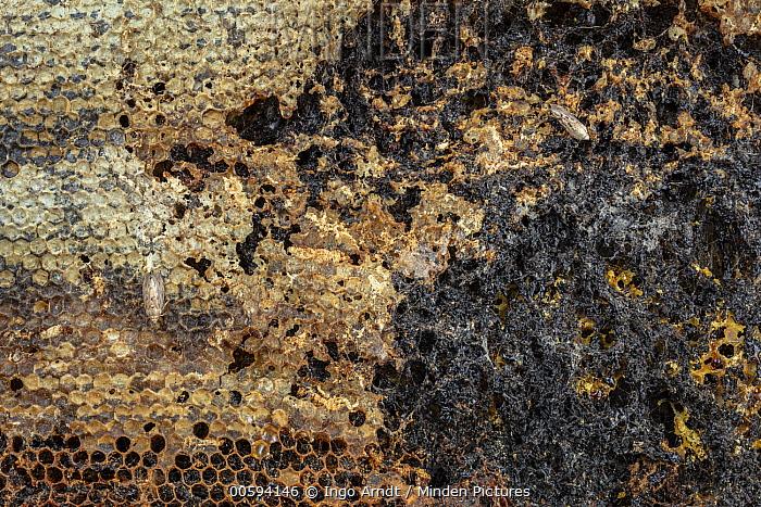 Honey Bee (Apis mellifera) honeycomb parasatized by Lesser Wax Moth (Achroia grisella), Germany