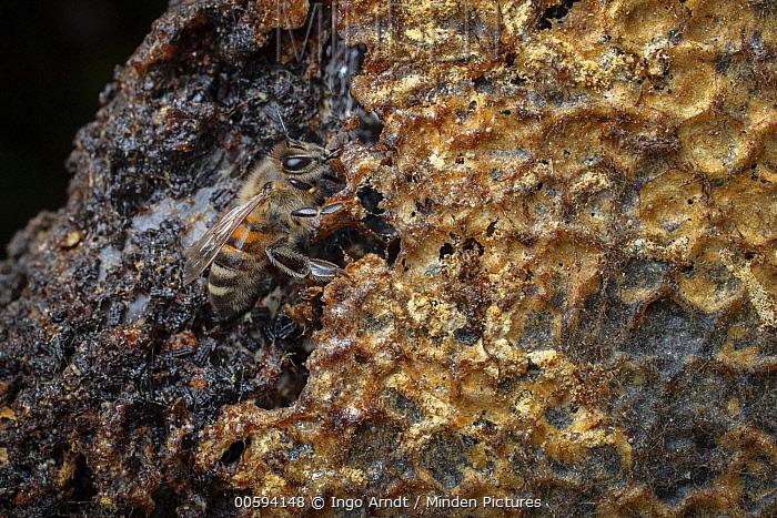 Honey Bee (Apis mellifera) on honeycomb parasatized by Lesser Wax Moth (Achroia grisella), Germany