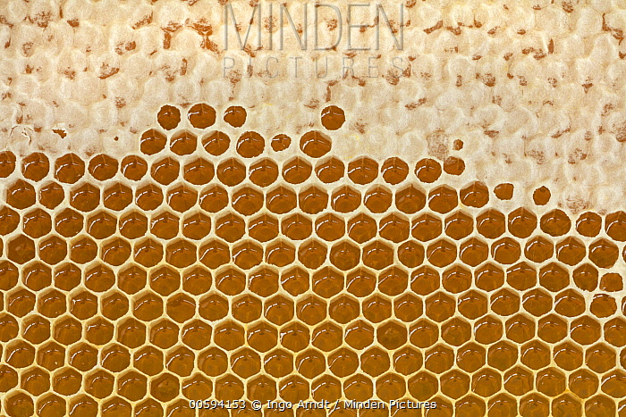 Honey Bee (Apis mellifera) honeycomb cells filled with honey, Germany
