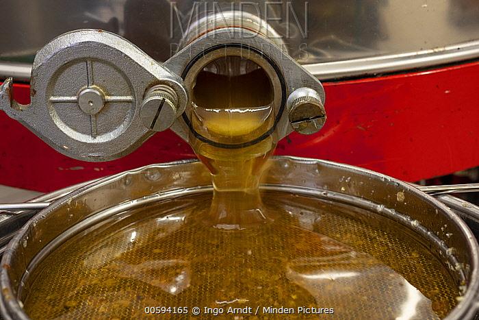 Honey Bee (Apis mellifera) honey ready for bottling, Germany