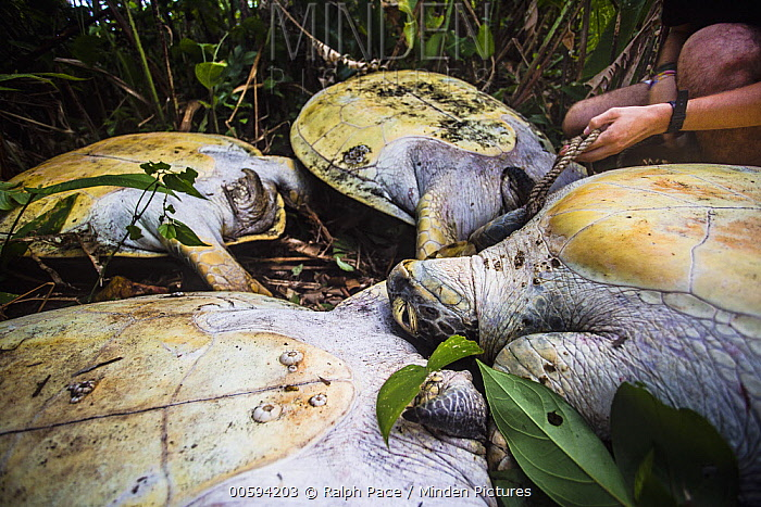 Green Sea Turtle (Chelonia mydas) group that was bound and flipped over by poachers being untied by conservationist, Tortuguero National Park, Costa Rica