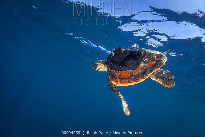 Loggerhead Sea Turtle (Caretta caretta) juvenile with tracking tag, San Diego, California