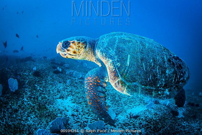 Loggerhead Sea Turtle (Caretta caretta), Mozambique