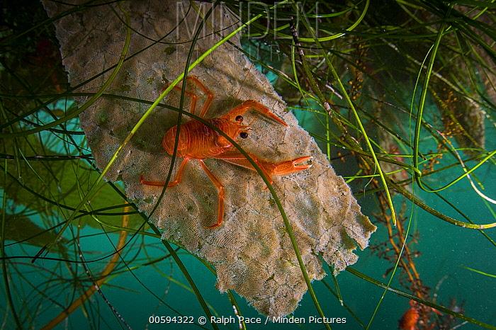 Pelagic Red Crab (Pleuroncodes planipes), indicator of El Nino, California