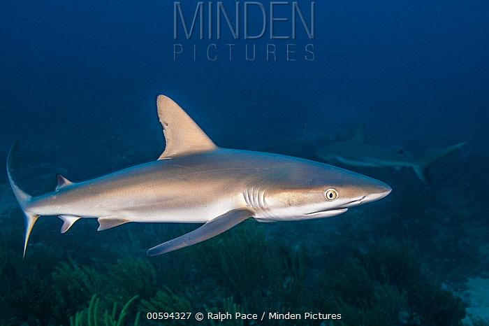 Caribbean Reef Shark (Carcharhinus perezii) pair, Saint Eustatius, Caribbean