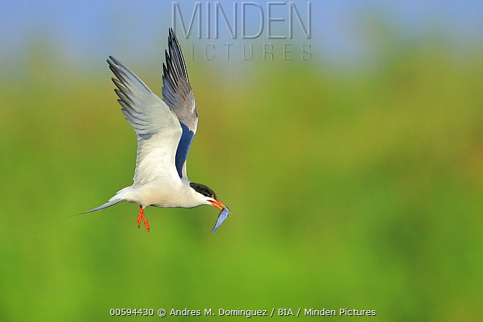 Common Tern (Sterna hirundo) flying with fish prey, Danube Delta, Romania