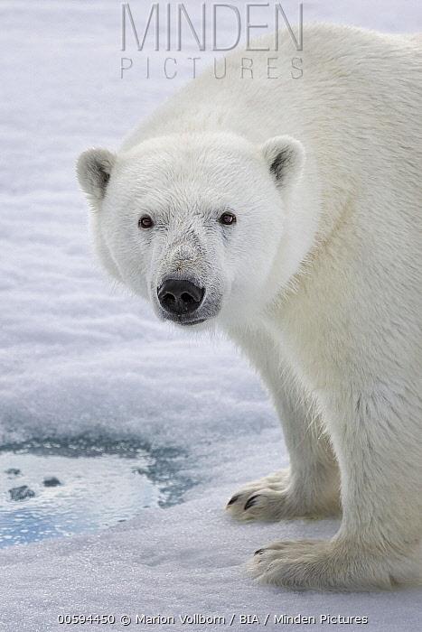 Polar Bear (Ursus maritimus), Svalbard, Norway