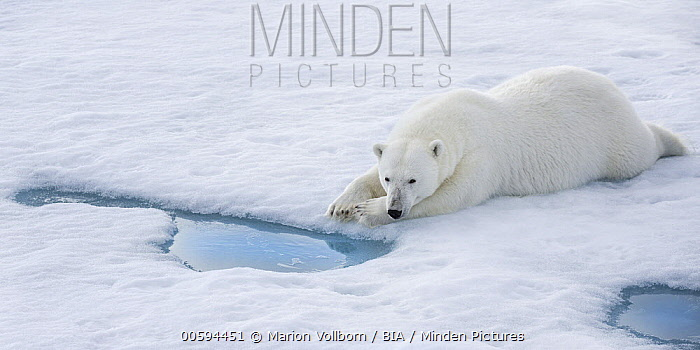 Polar Bear (Ursus maritimus) waiting at breathing hole for seals, Svalbard, Norway