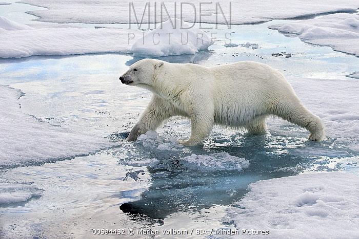 Polar Bear (Ursus maritimus) on ice, Svalbard, Norway