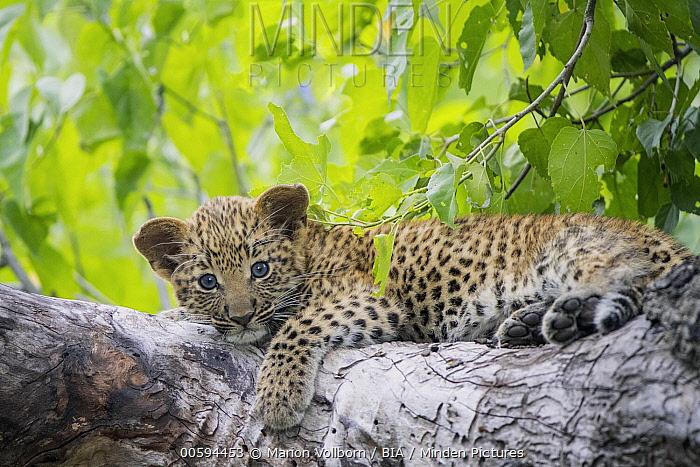 Leopard (Panthera pardus) cub, Okavango Delta, Botswana