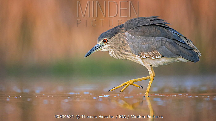 Black-crowned Night Heron (Nycticorax nycticorax) juvenile foraging, Hungary