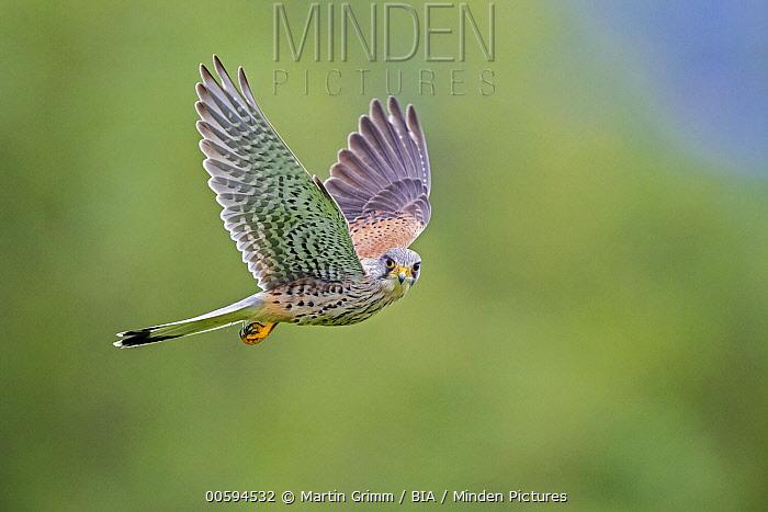 Eurasian Kestrel (Falco tinnunculus) male flying, Baden-Wurttemberg, Germany