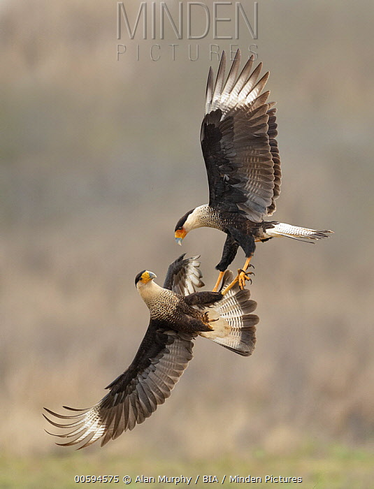 Northern Caracara (Caracara cheriway) pair fighting, Texas