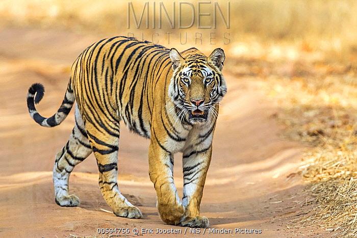 Bengal Tiger (Panthera tigris tigris) on road, India