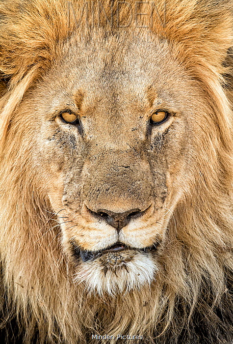 African Lion (Panthera leo) male, South Africa