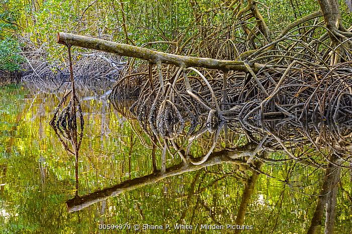 Mangrove (Rhizophoraceae) aerial roots, Caroni Swamp, Trinidad and Tobago, Caribbean