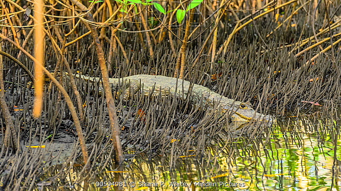 Spectacled Caiman (Caiman crocodilus) in mangroves during low tide, Caroni Swamp, Trinidad and Tobago, Caribbean
