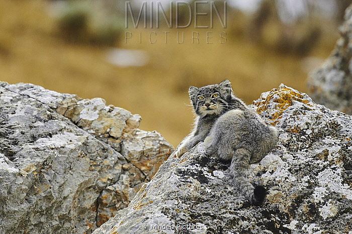 Pallas' Cat (Otocolobus manul), Tibetan Plateau, China
