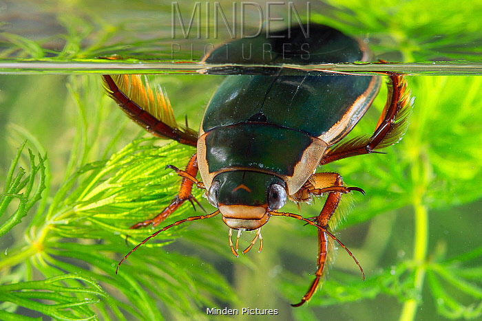 Great Diving Beetle (Dytiscus marginalis) male, Gondreville, Lorraine, France