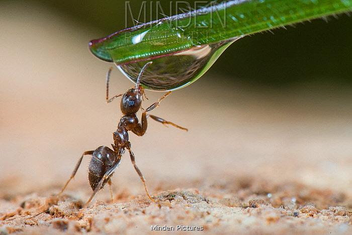 Black Garden Ant (Lasius niger) drinking from water droplet, France