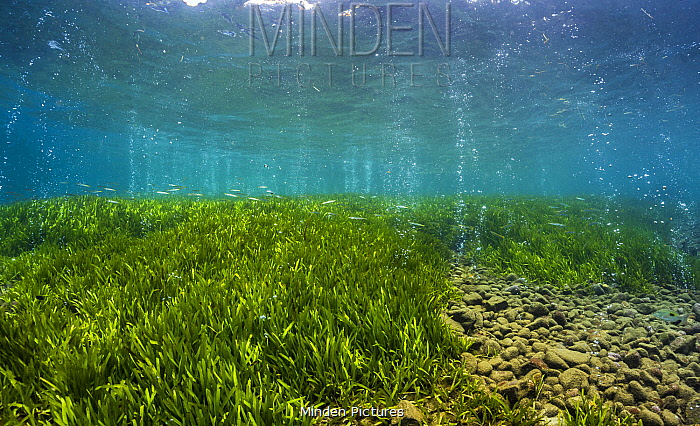 Eelgrass (Zostera sp) with volcanic seeps of carbon dioxide bubbling, Normanby Island, Papua New Guinea
