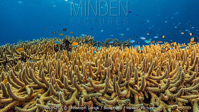 Stony Coral (Acropora sp) and Damselfish (Pomacentridae) school, Kimbe Bay, Papua New Guinea