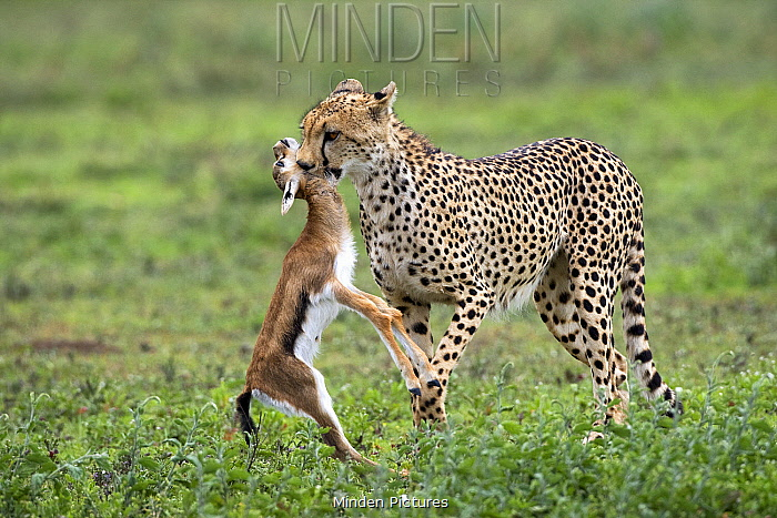 Cheetah (Acinonyx jubatus) carrying Thomson's Gazelle (Eudorcas thomsonii) foal, Serengeti National Park, Tanzania