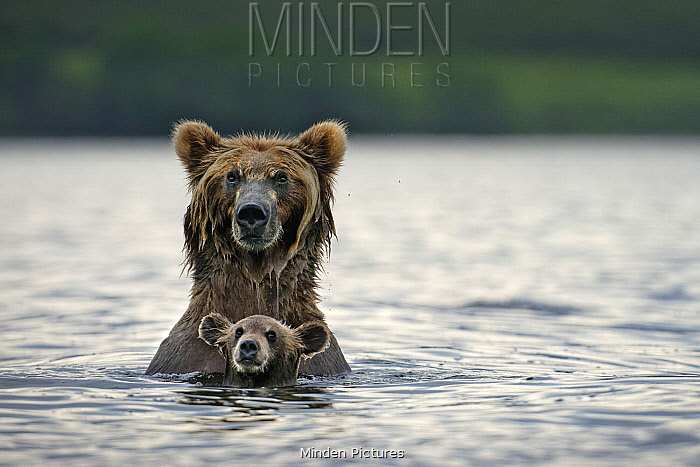 Brown Bear (Ursus arctos) mother and cub in river, Kamchatka, Russia
