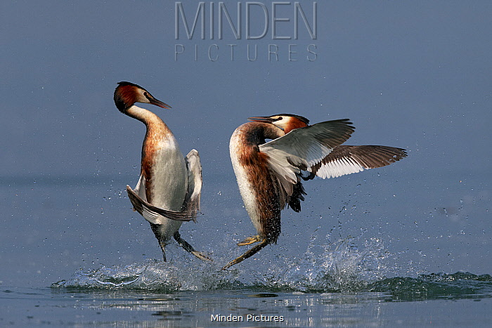 Great Crested Grebe (Podiceps cristatus) pair fighting, Lake Garda, Italy