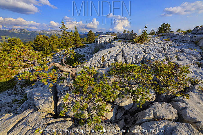 Mountain Pine (Pinus uncinata) in limestone lapies, Parmelan, Haute-Savoie, France