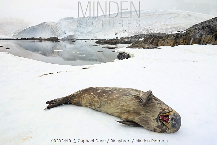 Weddell Seal (Leptonychotes weddellii) yawning, Antarctic Peninsula, Antarctica