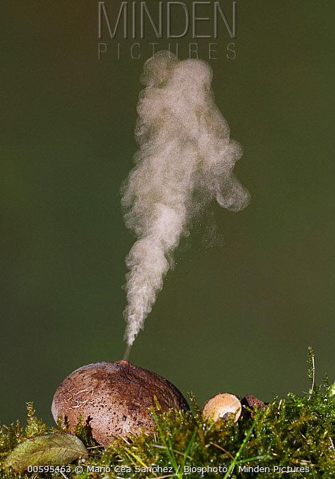 Devil's Snuffbox (Lycoperdon perlatum) expelling spores, Spain