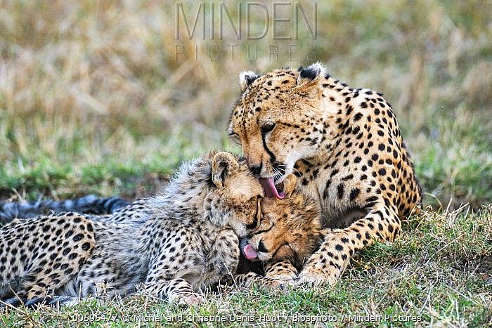 Cheetah (Acinonyx jubatus) mother cleaning her cubs, Masai Mara, Kenya