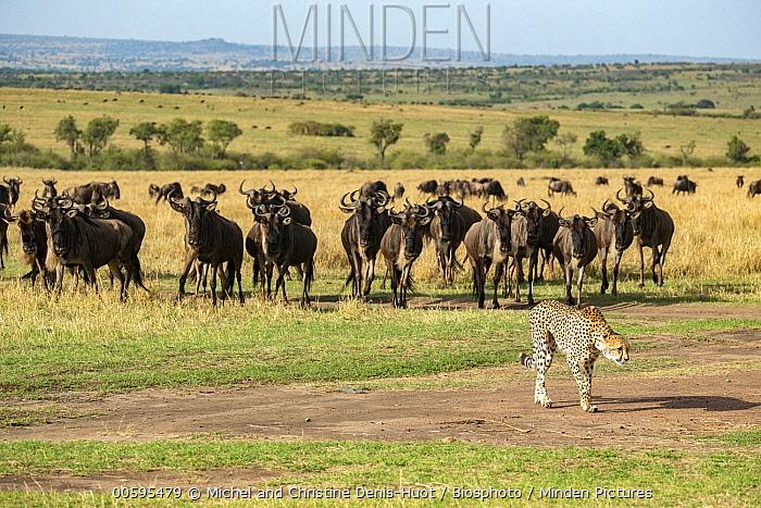 Cheetah (Acinonyx jubatus) watched by Blue Wildebeest (Connochaetes taurinus), Masai Mara, Kenya
