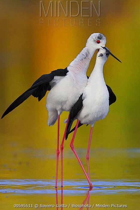 Black-winged Stilt (Himantopus himantopus) pair courting, Campania, Italy