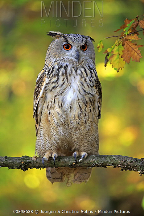 Eurasian Eagle-Owl (Bubo bubo), native to Europe and Asia
