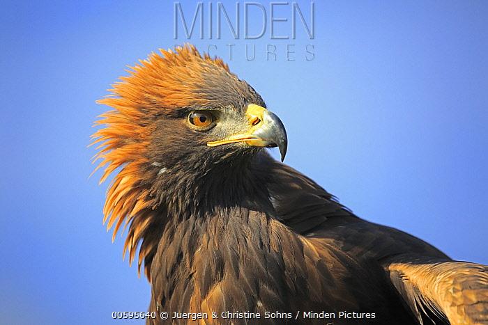 Golden Eagle (Aquila chrysaetos), native to northern hemisphere