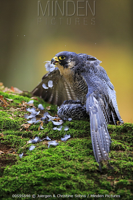 Peregrine Falcon (Falco peregrinus) guarding bird prey, native to northern hemisphere