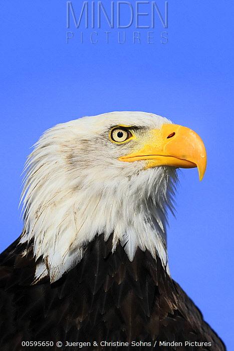 Bald Eagle (Haliaeetus leucocephalus), native to North America