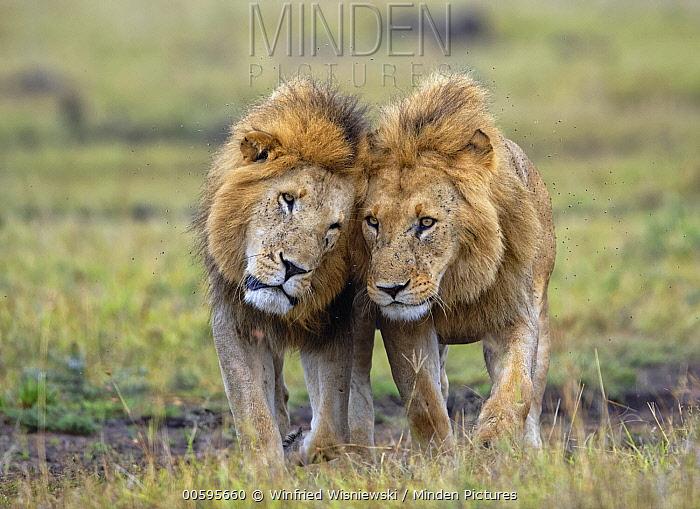 African Lion (Panthera leo) males nuzzling, Masai Mara, Kenya