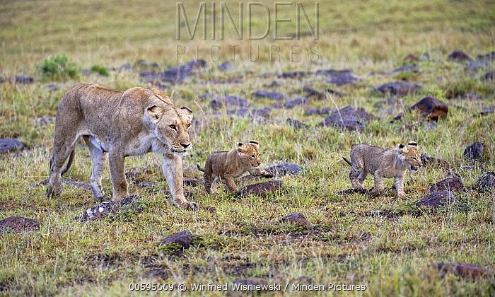 African Lion (Panthera leo) mother with cubs, Masai Mara, Kenya