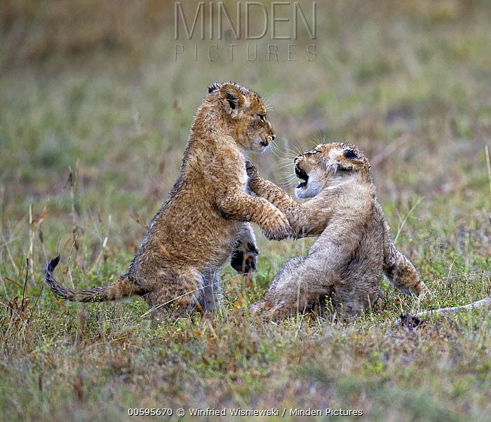 African Lion (Panthera leo) cubs playing, Masai Mara, Kenya