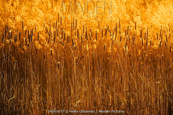 Common Reed (Phragmites australis) and Cattail (Typha sp), Netherlands